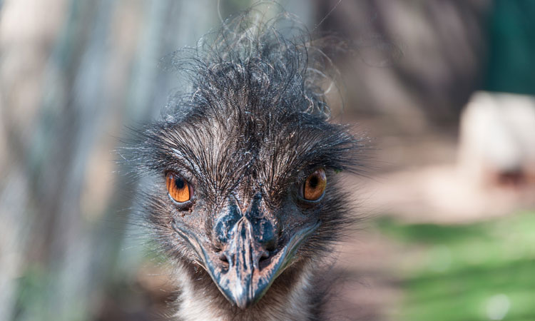 Emu looking right at the camera